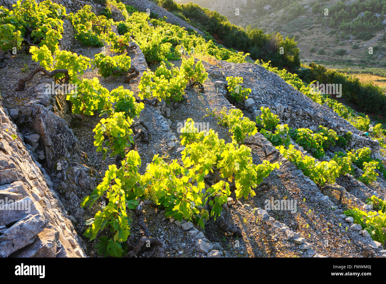 Vineyard on a steep slope, island Vis, Dalmatia - Croatia. - Stock Image
