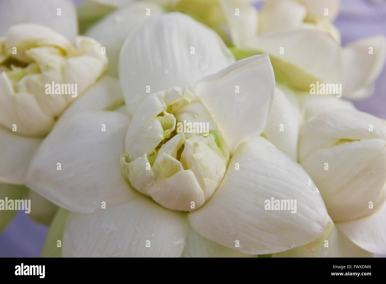 White Lotus Flower Buddhist Offerings Sri Lanka Stock Photo