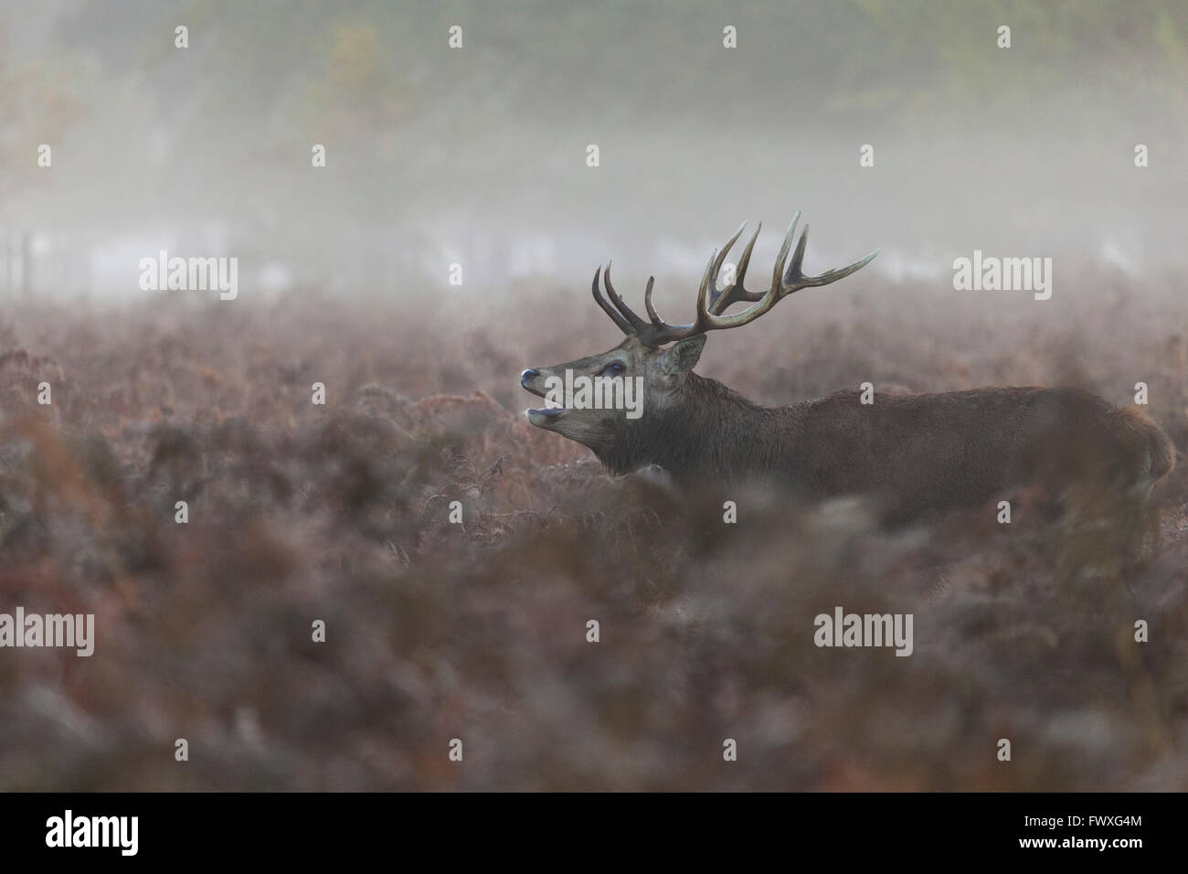 Red deer stag bellowing during rutting season, Bushy Park - Stock Image