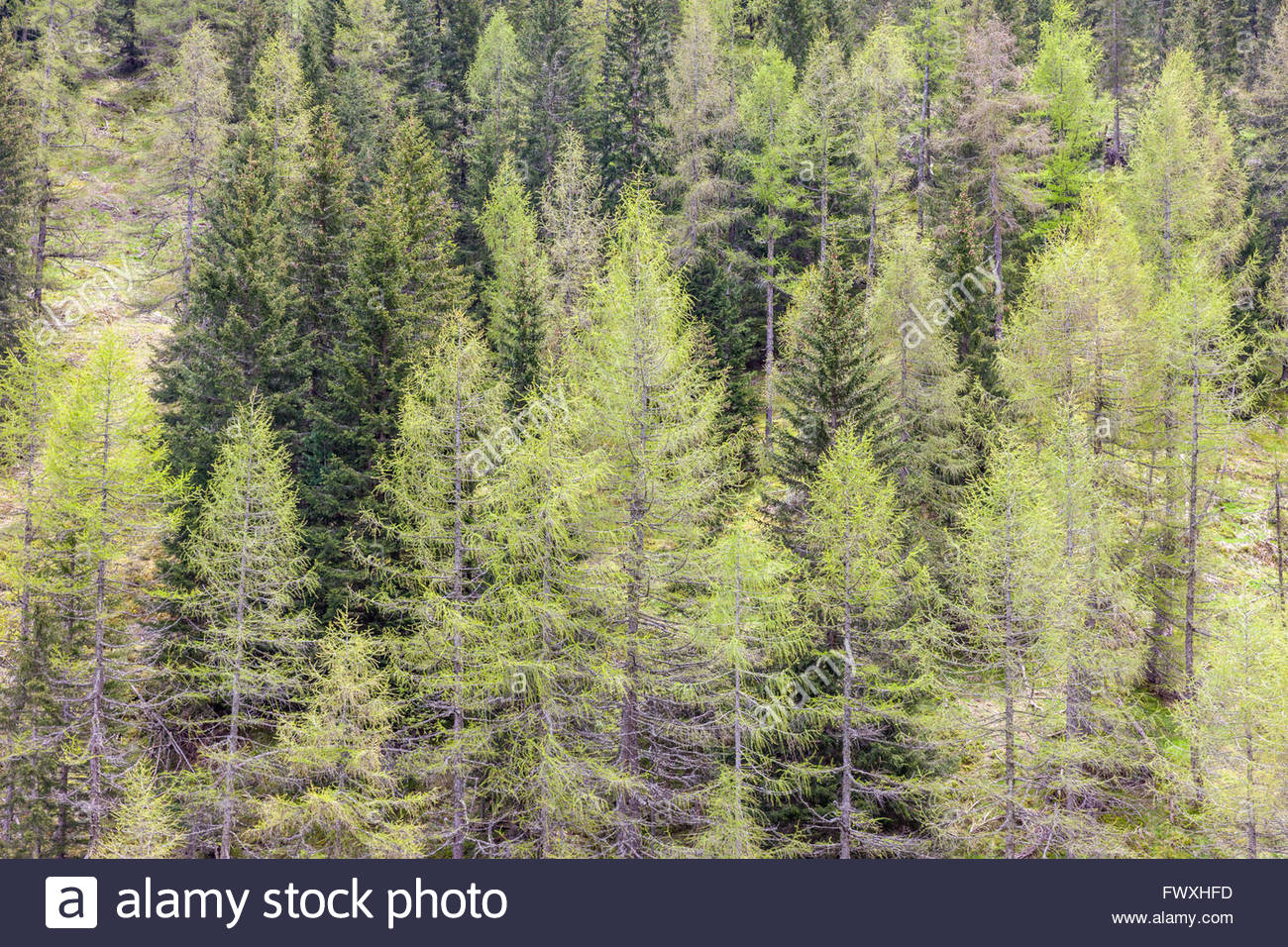 Coniferous forest in spring in Campo Tures, South Tyrol, Italy - Stock Image