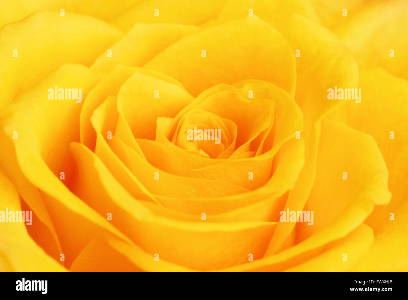 Single Yellow Rose Flower Background Close Up Stock Photo