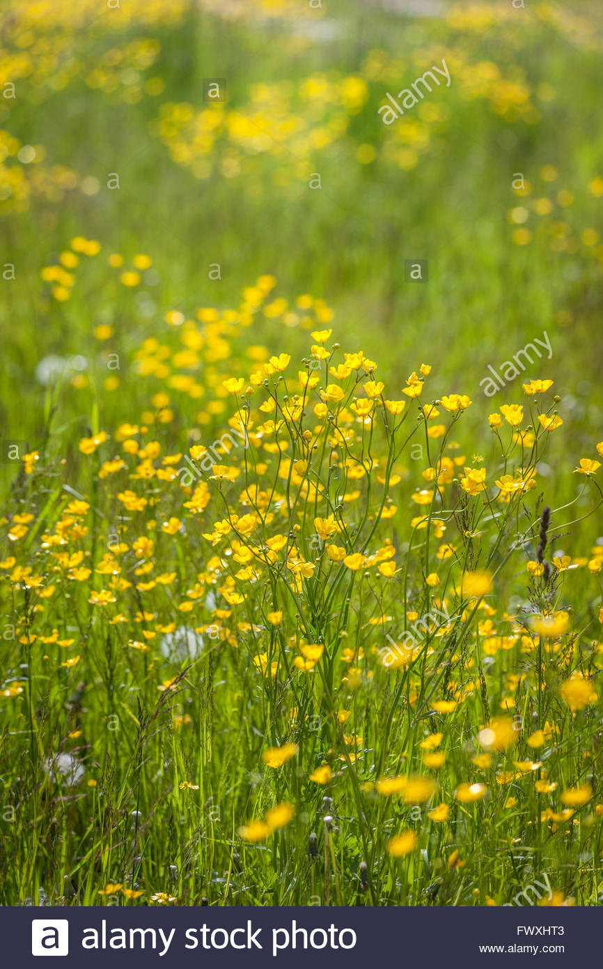 Meadow with yellow buttercups in Campo Tures, South Tyrol, Italy - Stock Image