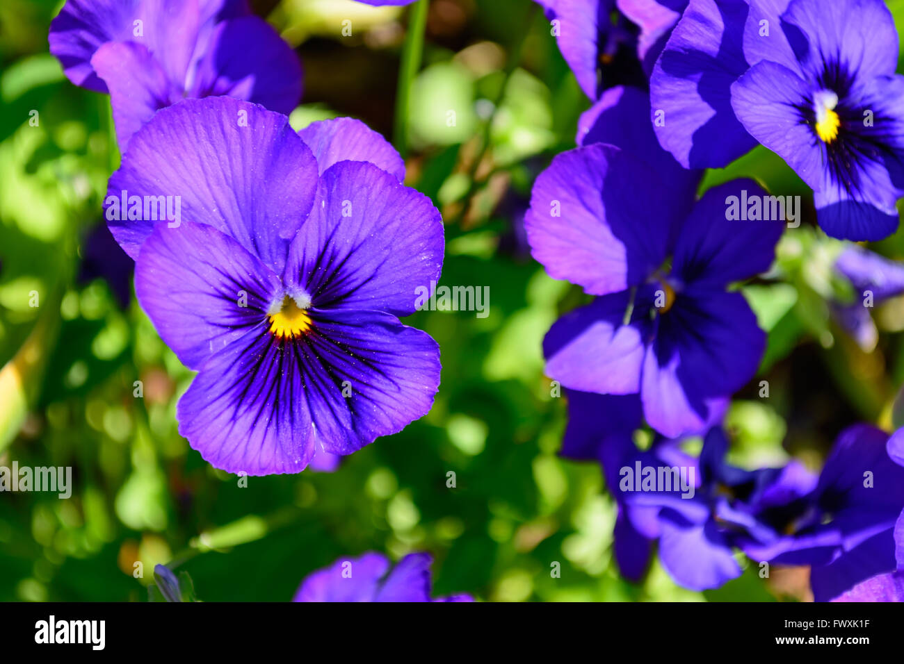 Purple Pansy with Bright Yellow Center Selective Focus Foreground with Pansies and green in background Stock Photo