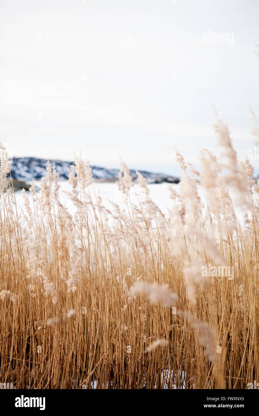 Sweden, Bohuslan, Orust, Mollosund, Brown grass in winter Stock Photo