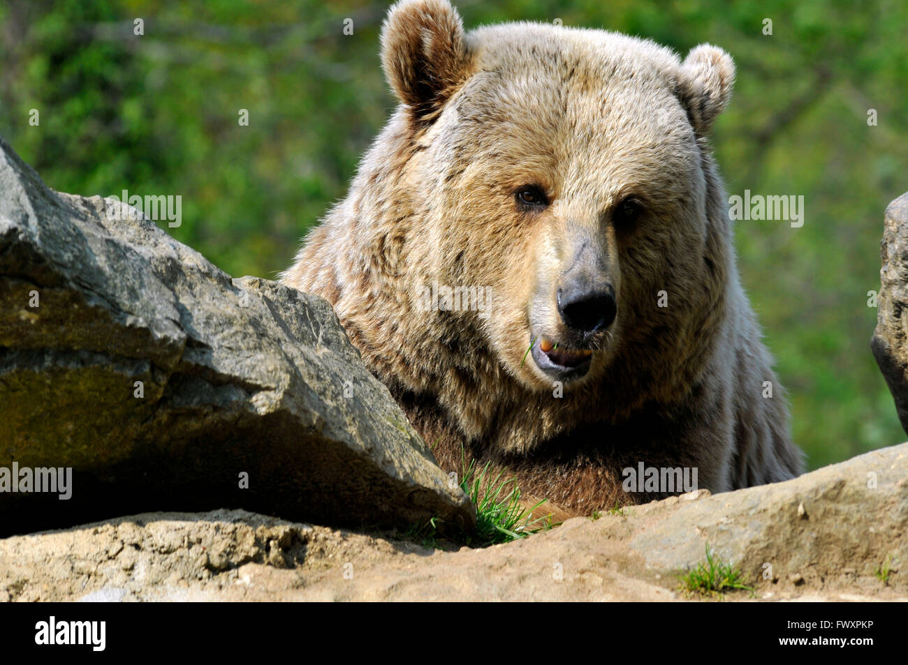 Portrait of front of a Grizzly bear (Ursus arctos horribilis) Stock Photo