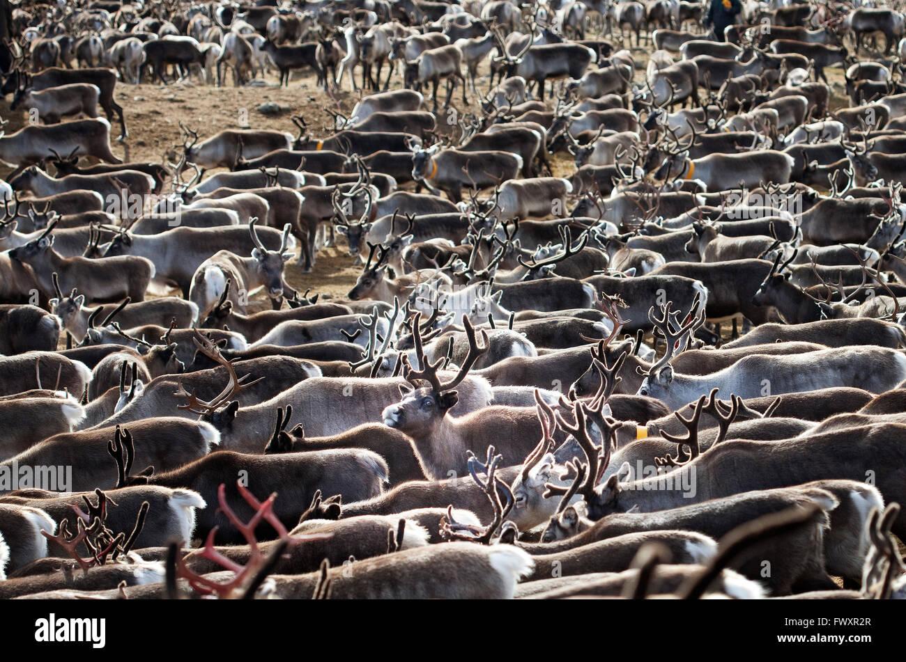 Sweden, Lapland, Levas, Herd of reindeer (Rangifer tarandus) in autumn - Stock Image
