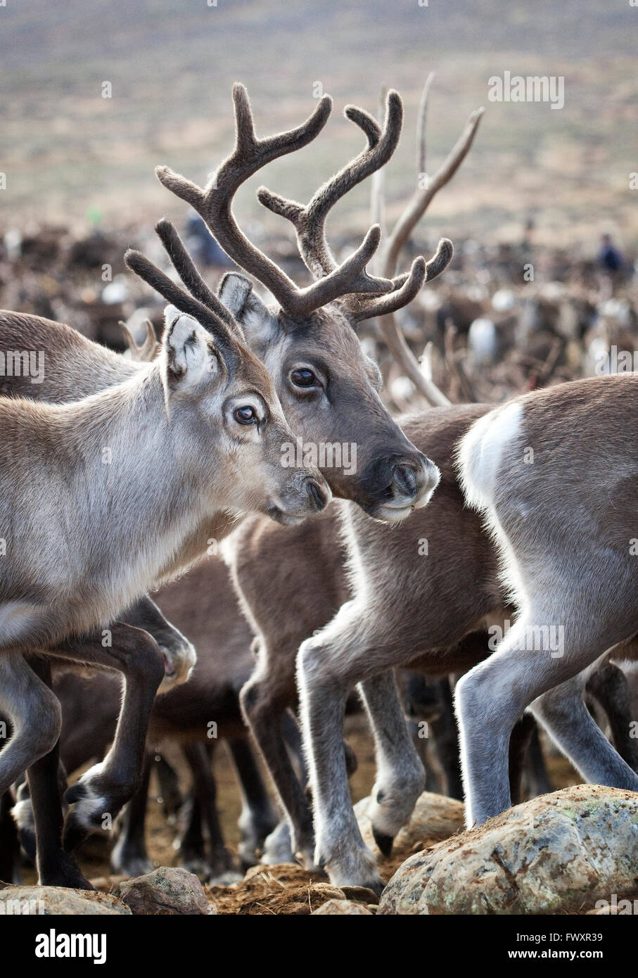 Sweden, Lapland, Levas, Close-up of herd of reindeer (Rangifer tarandus) Stock Photo