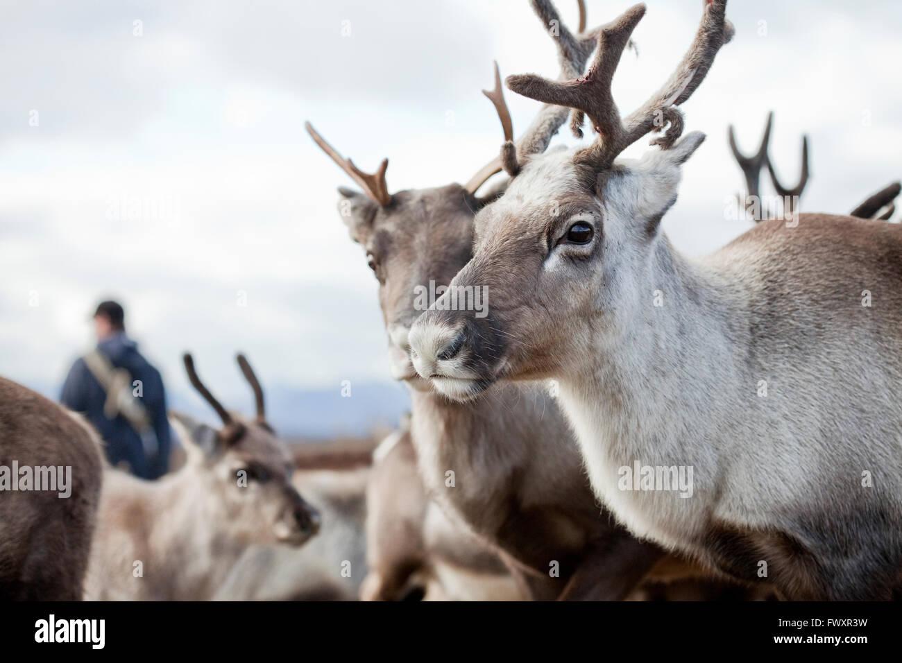 Sweden, Lapland, Levas, Portrait of reindeer (Rangifer tarandus) in herd - Stock Image