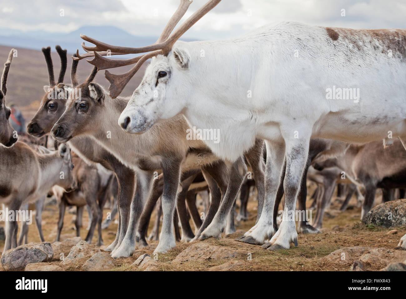 Sweden, Lapland, Levas, White reindeer (Rangifer tarandus) in front of herd - Stock Image