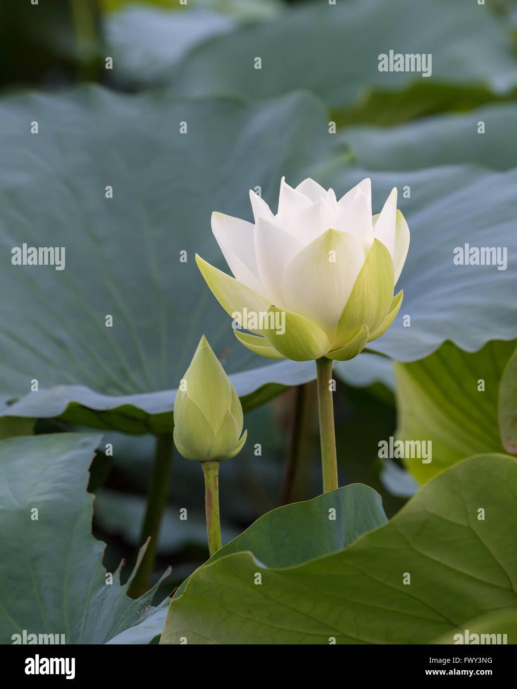 Lotus Flower And Lotus Flower Plants Stock Photo 102013900 Alamy