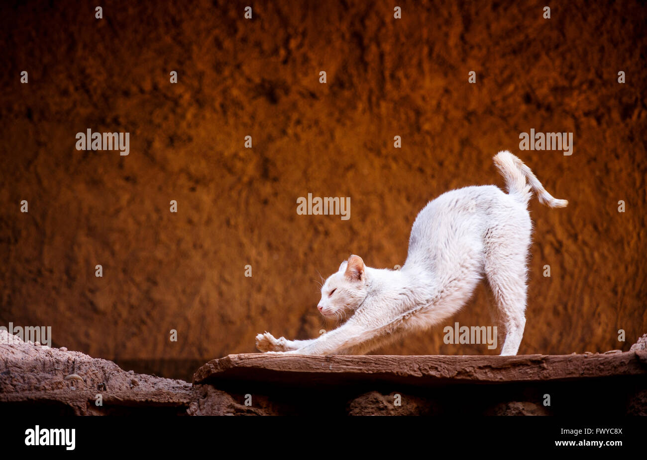 White yoga cat doing downward facing down dog pose - Stock Image