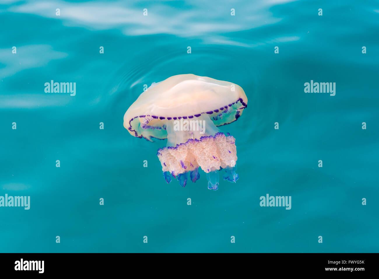 Barrel jellyfish (Rhizostoma octopus), Adriatic Sea, Friuli-Venezia Giulia, Italy Stock Photo