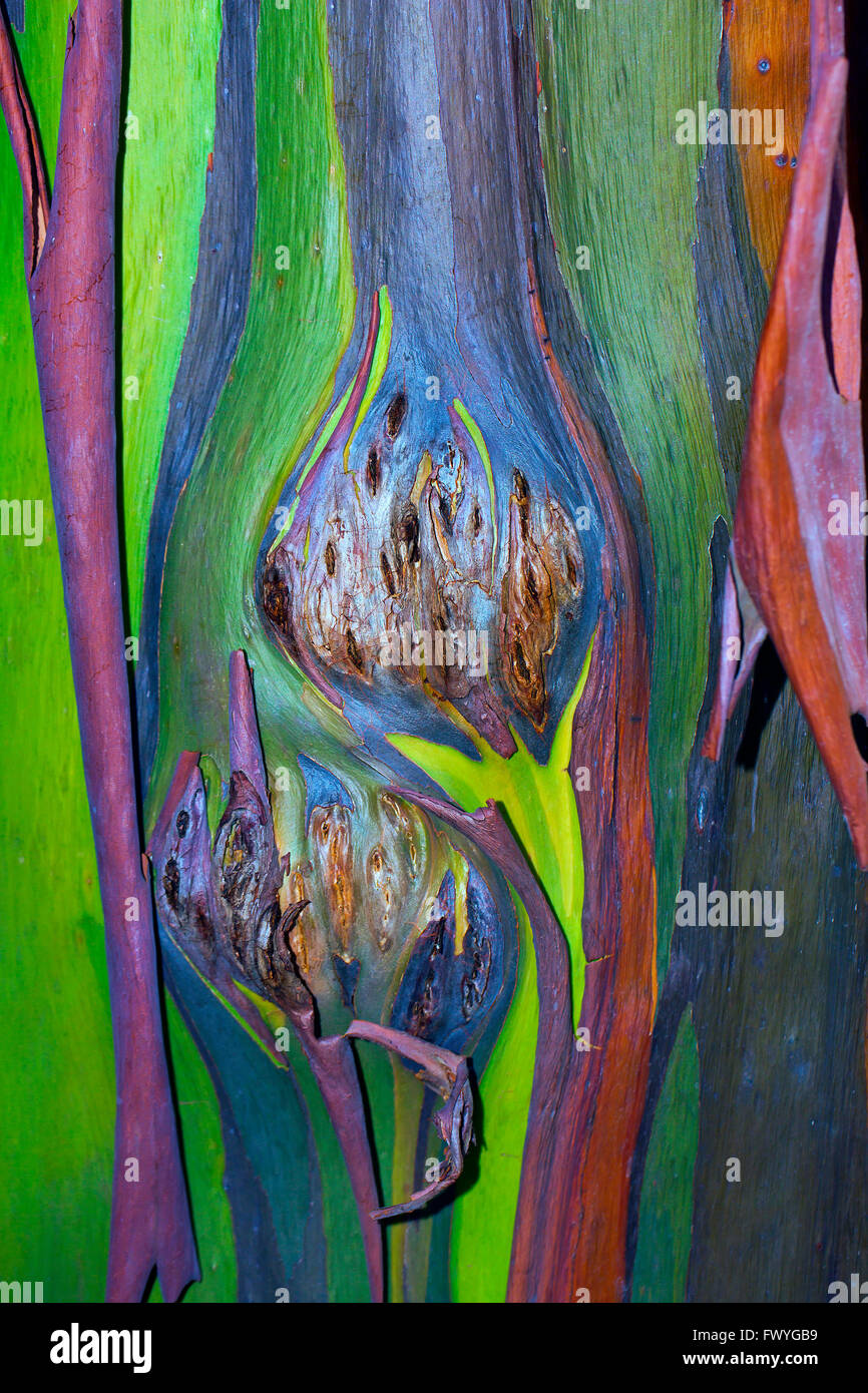 Colorful bark on the trunk of a Rainbow Eucalyptus tree (Eucalyptus ...