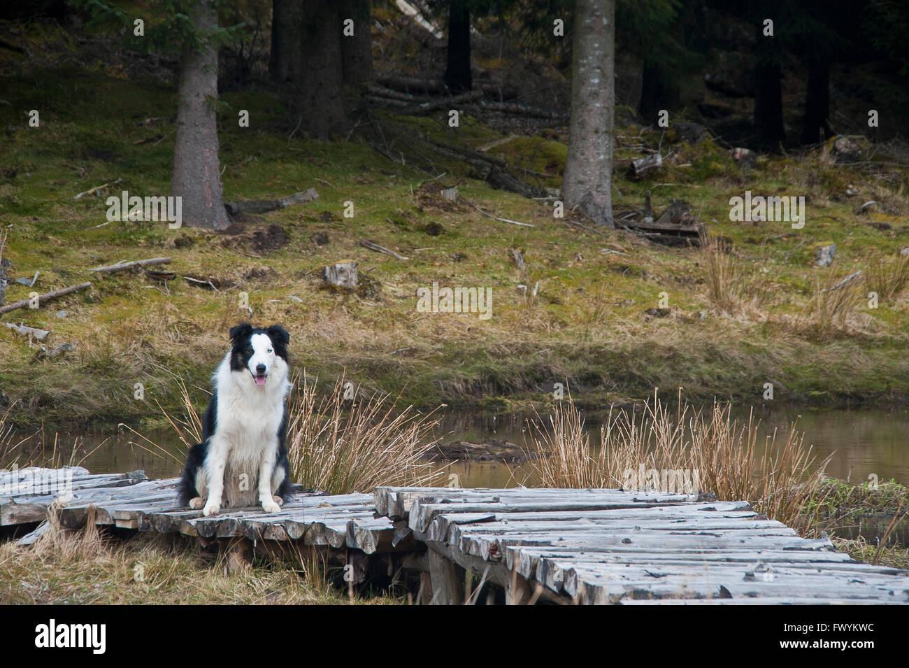 Boardwalk, forest, stream, burn, gill, woodland, clear felling, timber,dog, pine,  conifer, wood, wetland, flooded, - Stock Image