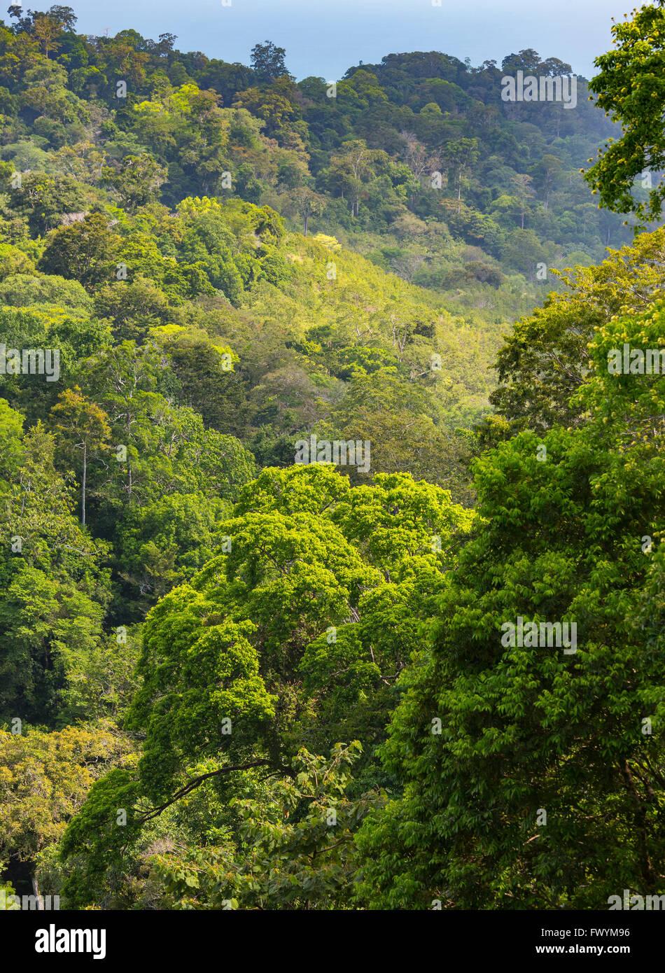 OSA PENINSULA, COSTA RICA - Trees in primary rain forest. - Stock Image
