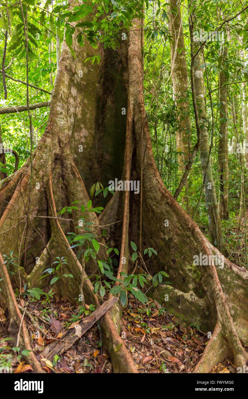 OSA PENINSULA, COSTA RICA - Royal mahogany tree in primary rain forest. Carapa guianensis caobilla or cedro macho - Stock Image