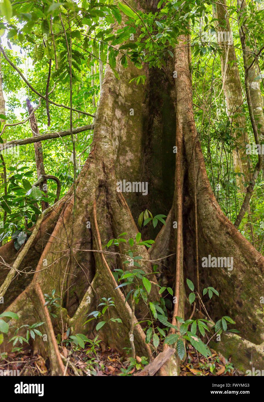 OSA PENINSULA, COSTA RICA - Royal mahogany tree in primary rain forest. Carapa guianensis - Stock Image