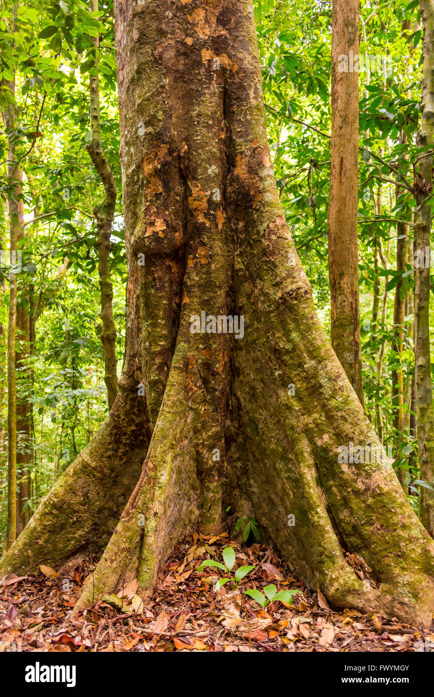 OSA PENINSULA, COSTA RICA - Royal mahogany tree, tropical hardwood, in primary rain forest. Carapa guianensis - Stock Image