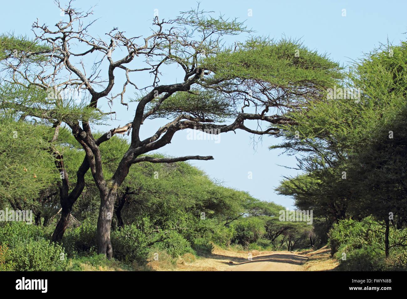 Endless dusty road under an acacia tree, Lake Manyara National park in Tanzania - Stock Image