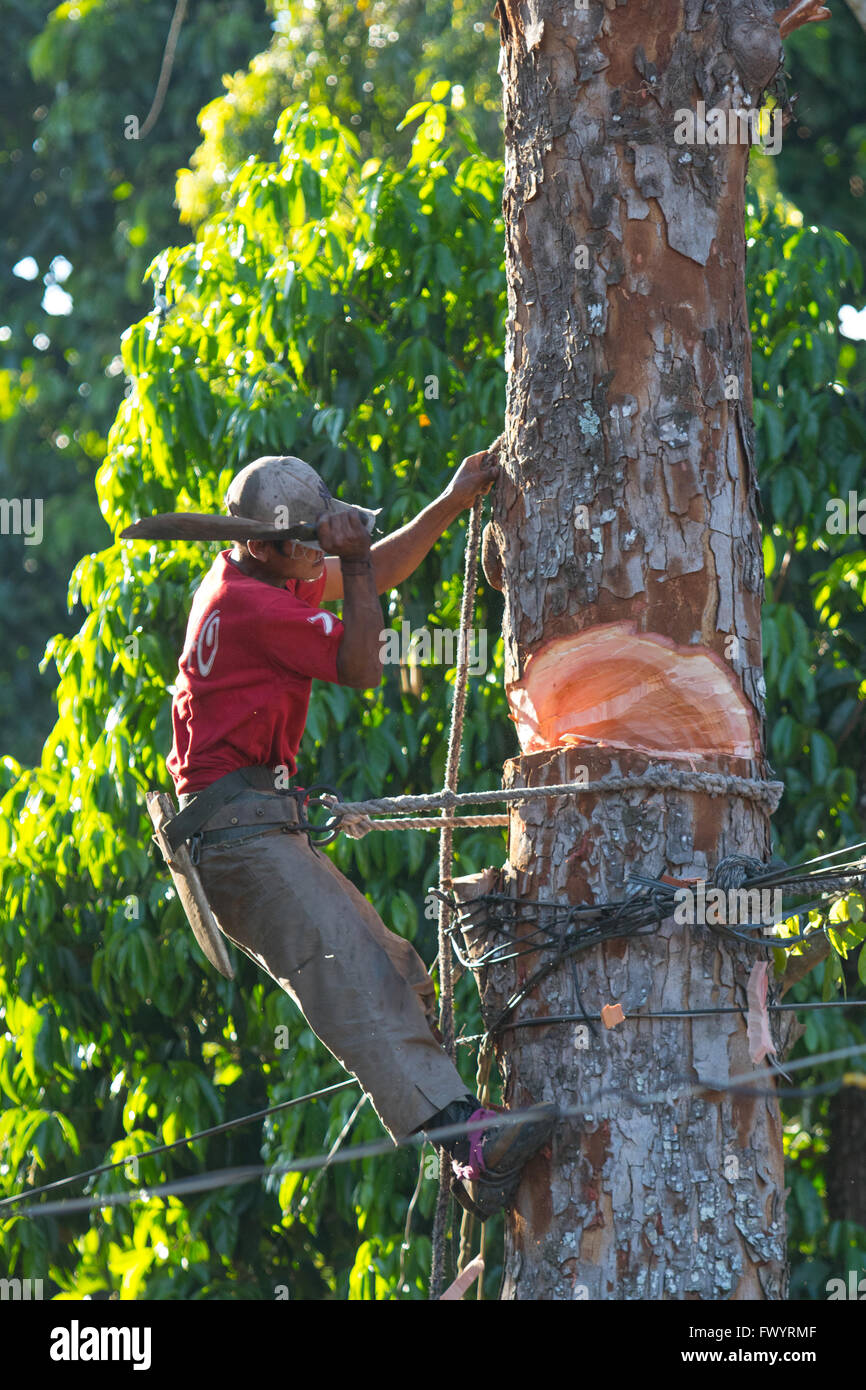 A Filipino man uses a simple Machete to cut down a large tree in Bukidnon,Philippines - Stock Image