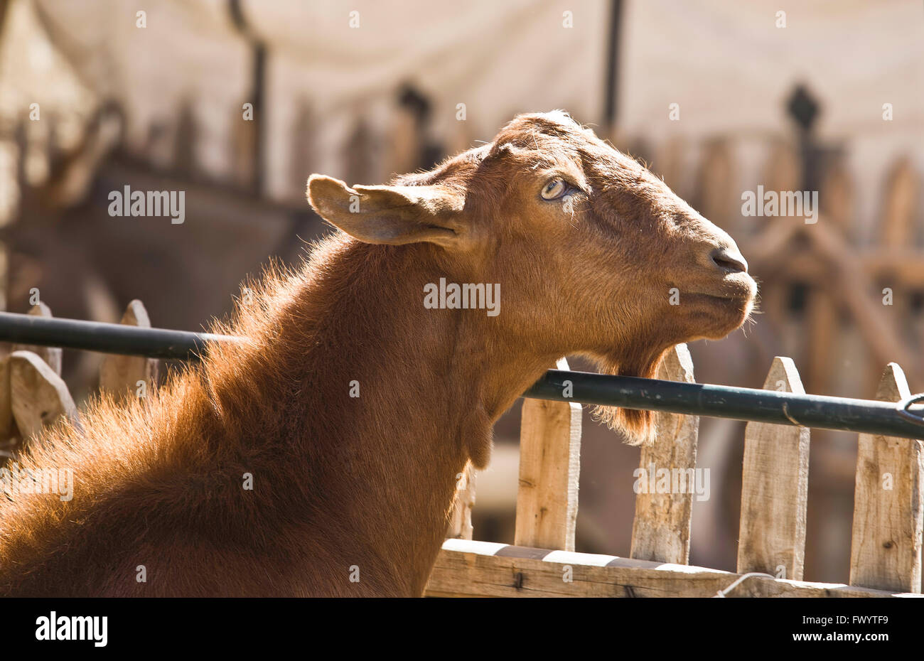 Funny goat peeking through a fence with an traquil  look - Stock Image