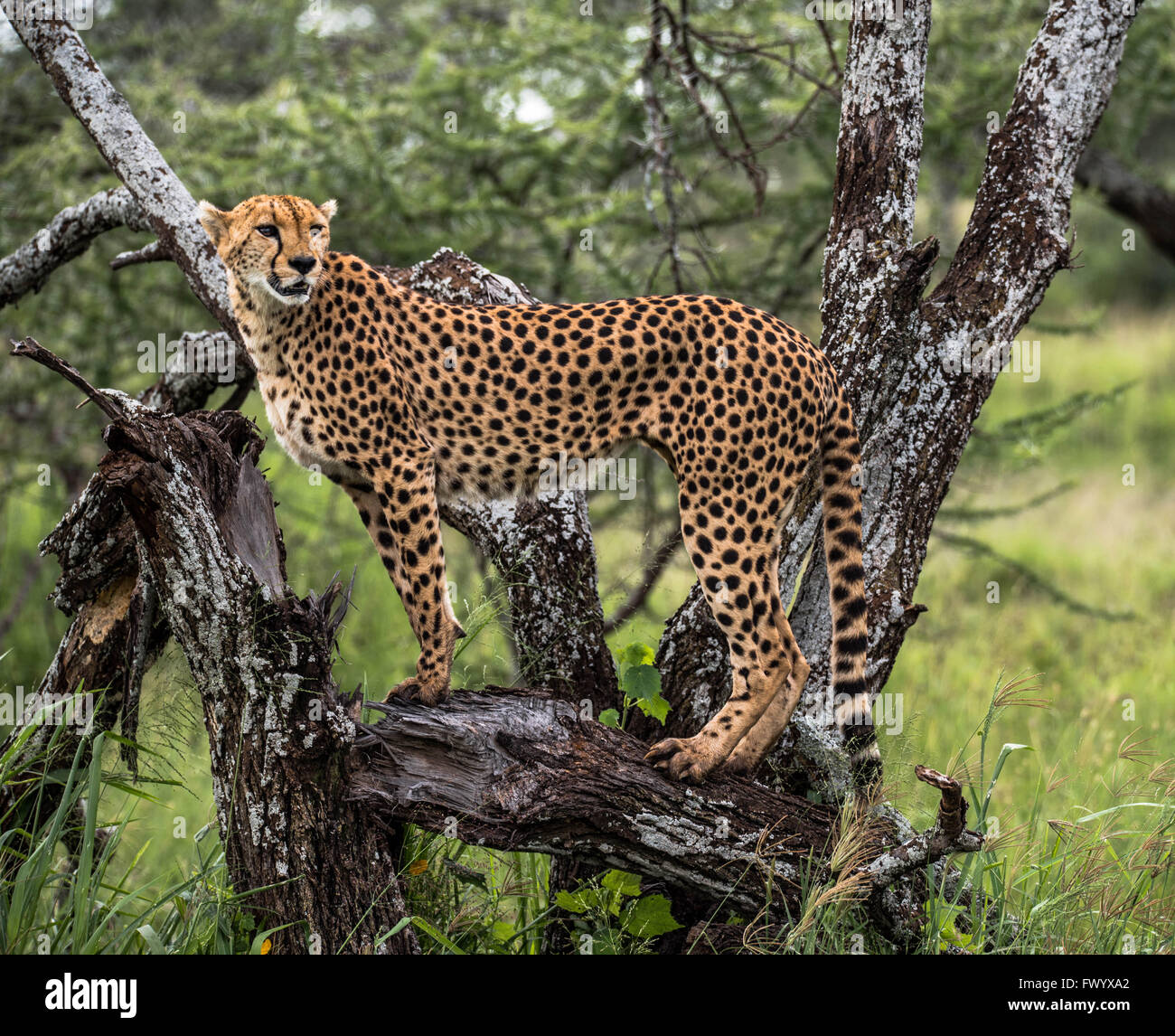cheetah posing for the passing tourists in the serengeti, tanzania. They are usually very sensitive and shy - Stock Image