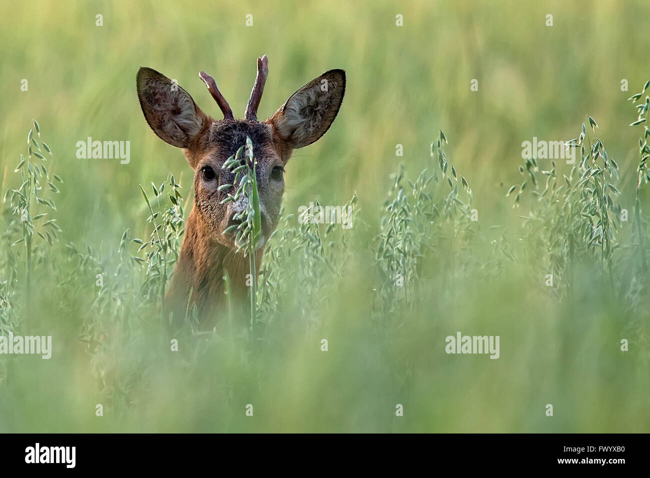 Roebuck hidden in the rye - Stock Image