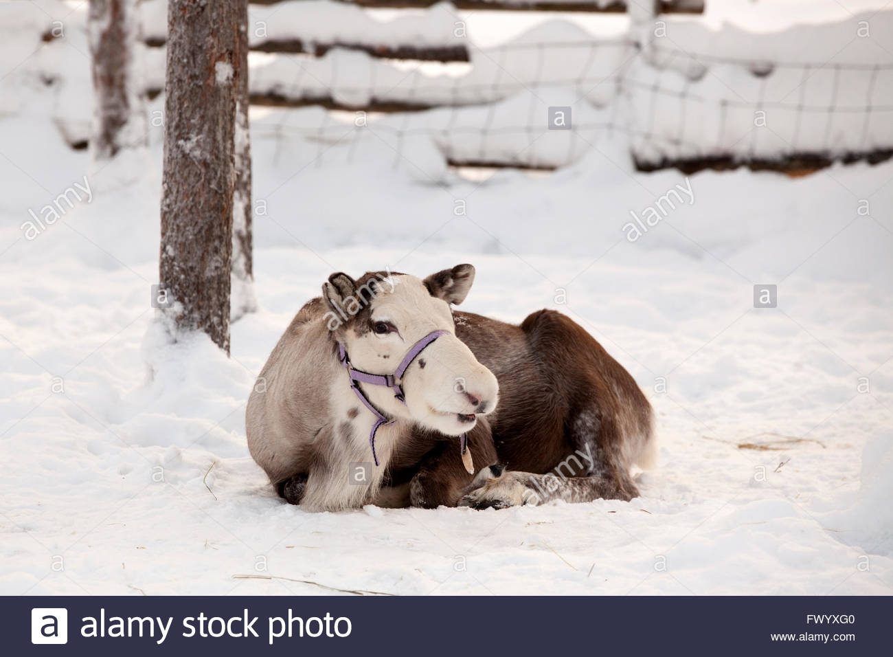 Farm animals out in winter at Finnish Lapland - Stock Image