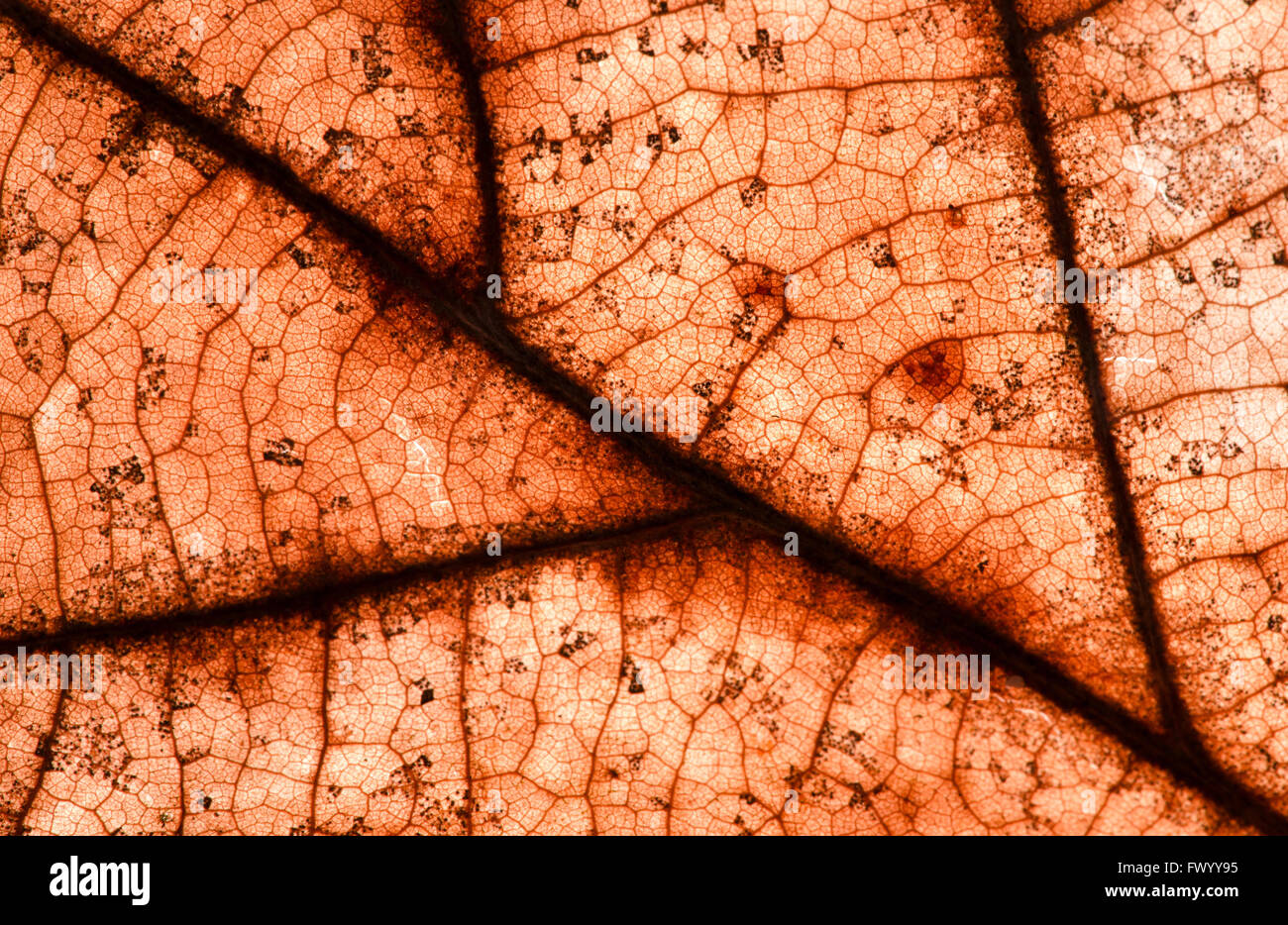 Detail of old red autumn leaf structure. - Stock Image