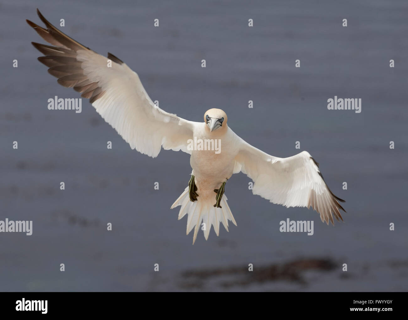 Close up of Flying northern gannet (Morus bassanus) is preparing to land on helgoland, germany - sea in the background Stock Photo