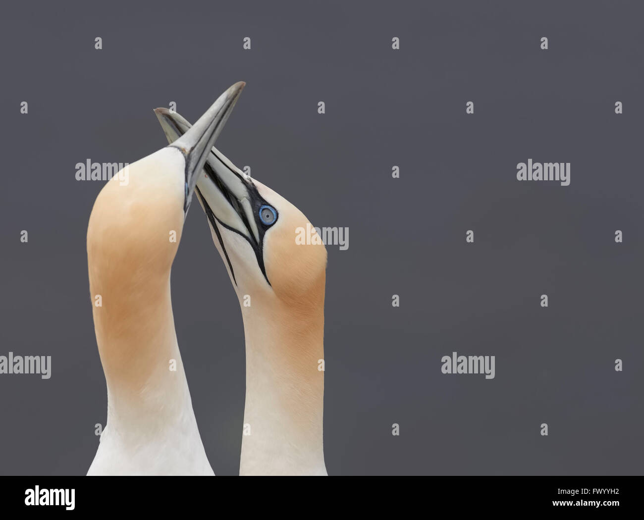 Close up of pair of northern gannet (Morus bassanus) rubbing beaks signaling harmony and peace - sea in the background Stock Photo
