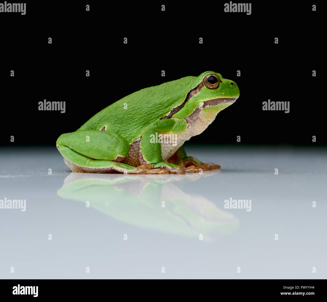 Close up of european tree frog (Hyla arborea) sitting on a a reflecting white plate with black background Stock Photo