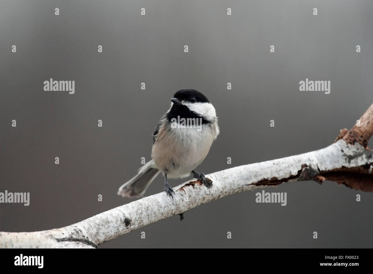 Chickadee perches on birch branch - Stock Image