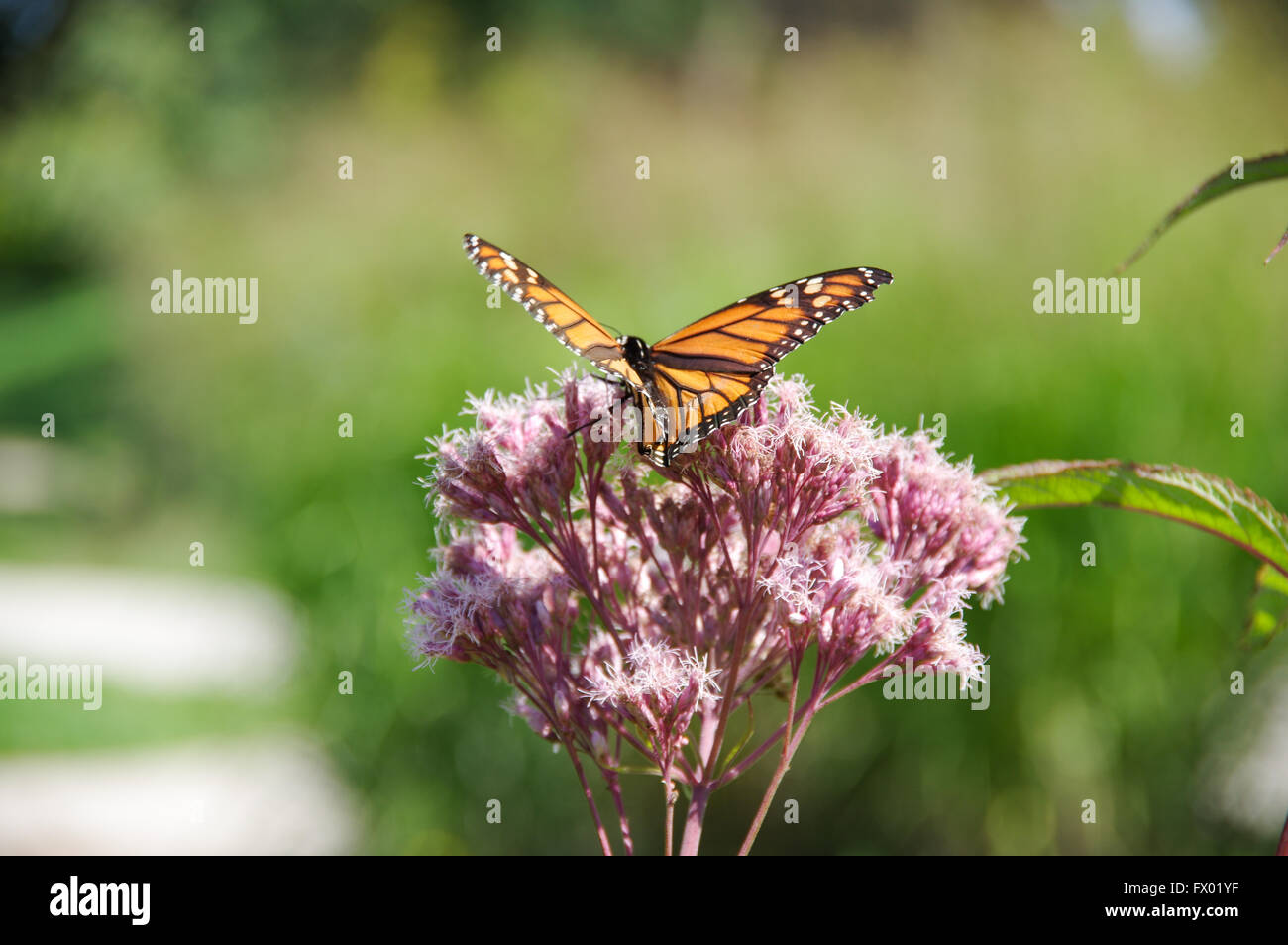 Monarch butterfly (Danaus plexippus) on Joe Pye Weed  (Empatorium purpureum) - Stock Image