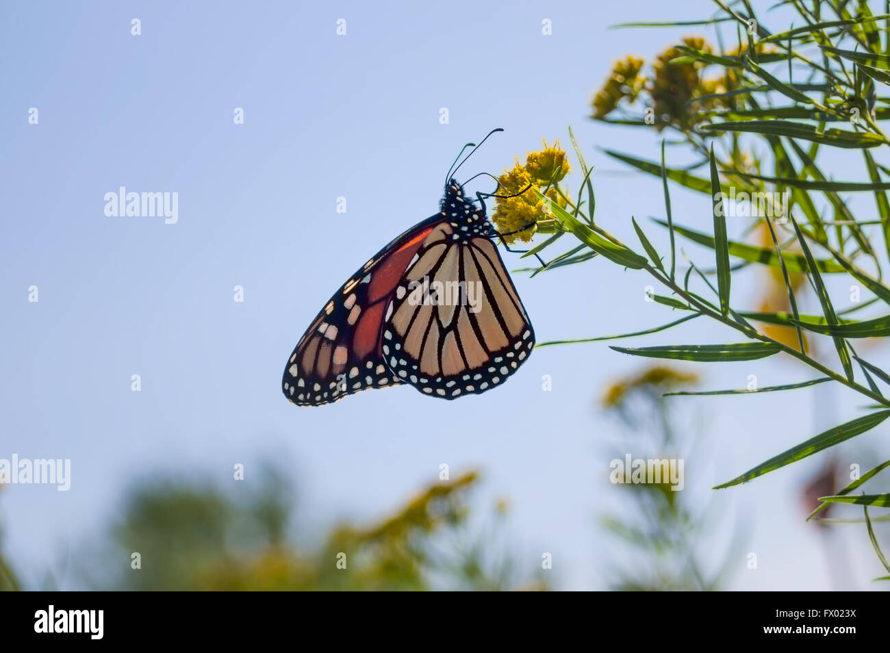 Monarch butterfly (Danaus plexippus) before migration in September from Canada.The picture is from the natural habitat. Stock Photo