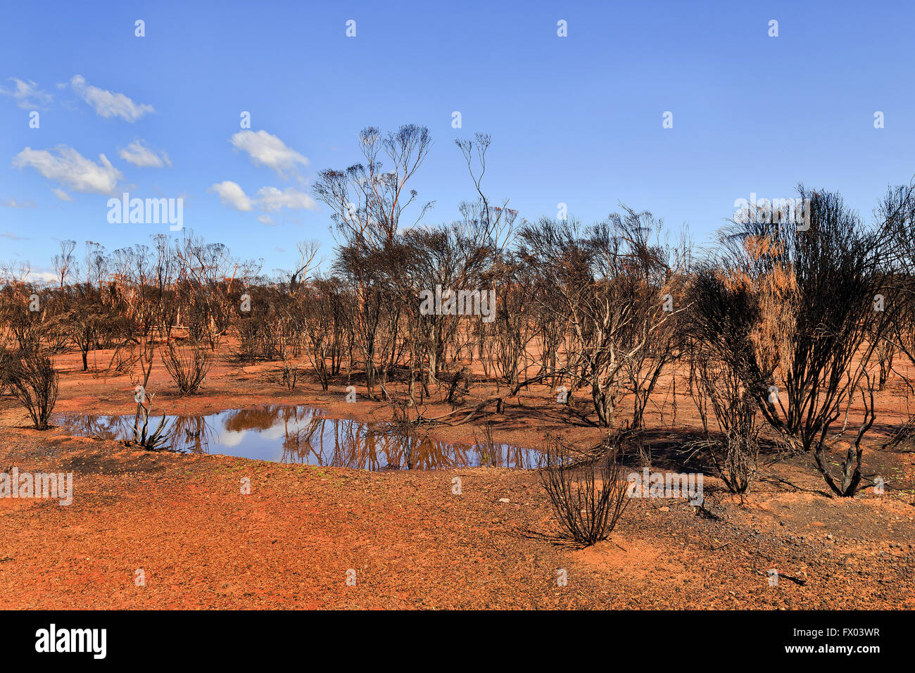 burnt down outback bushland with red soil and dead black trees around small puddle after rain. - Stock Image