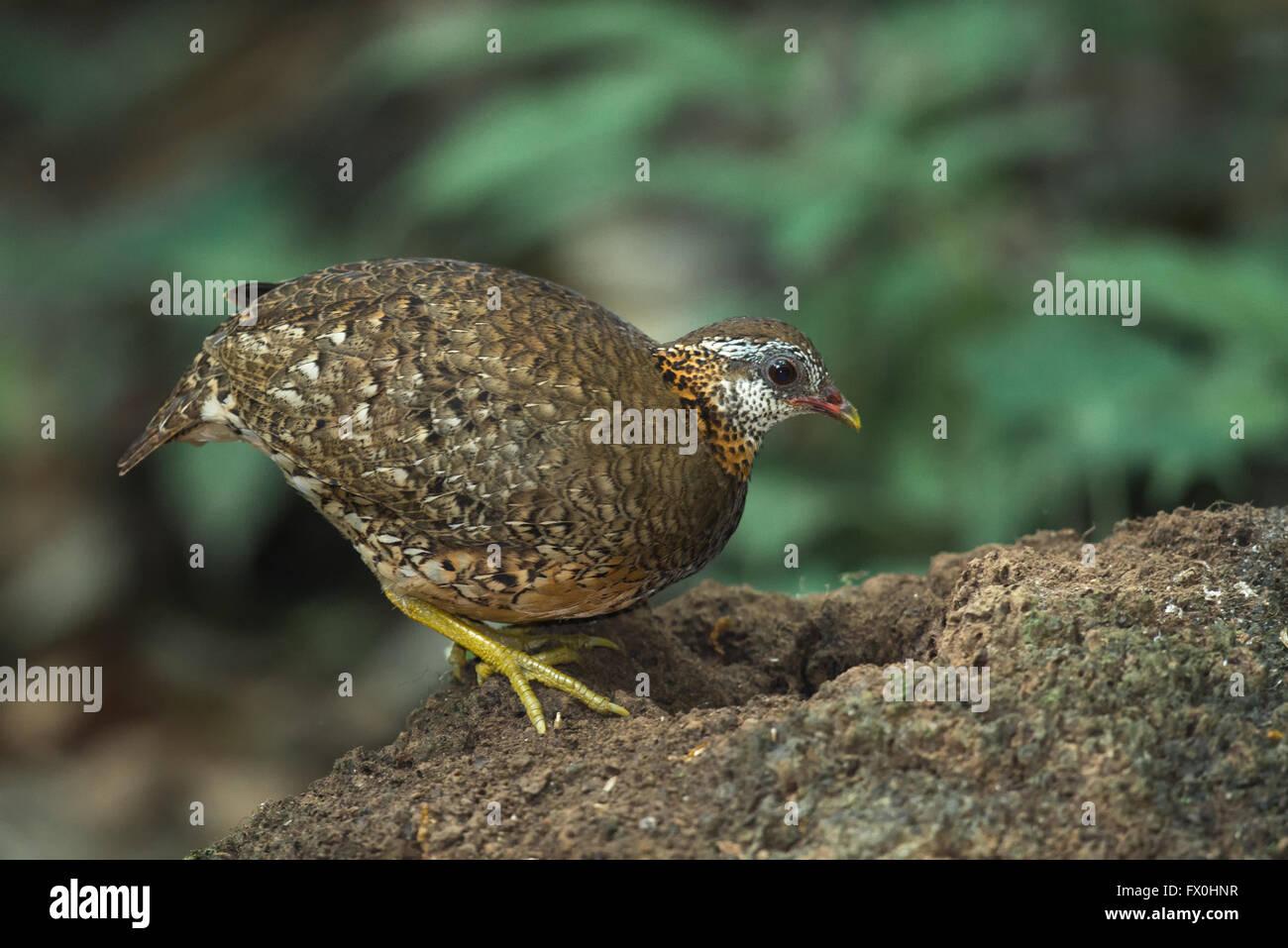 Scaly-breasted Partridge, Arborophila chloropus peninsularis, at Kaeng Krachan National Park, Thailand. AKA Scaly - Stock Image
