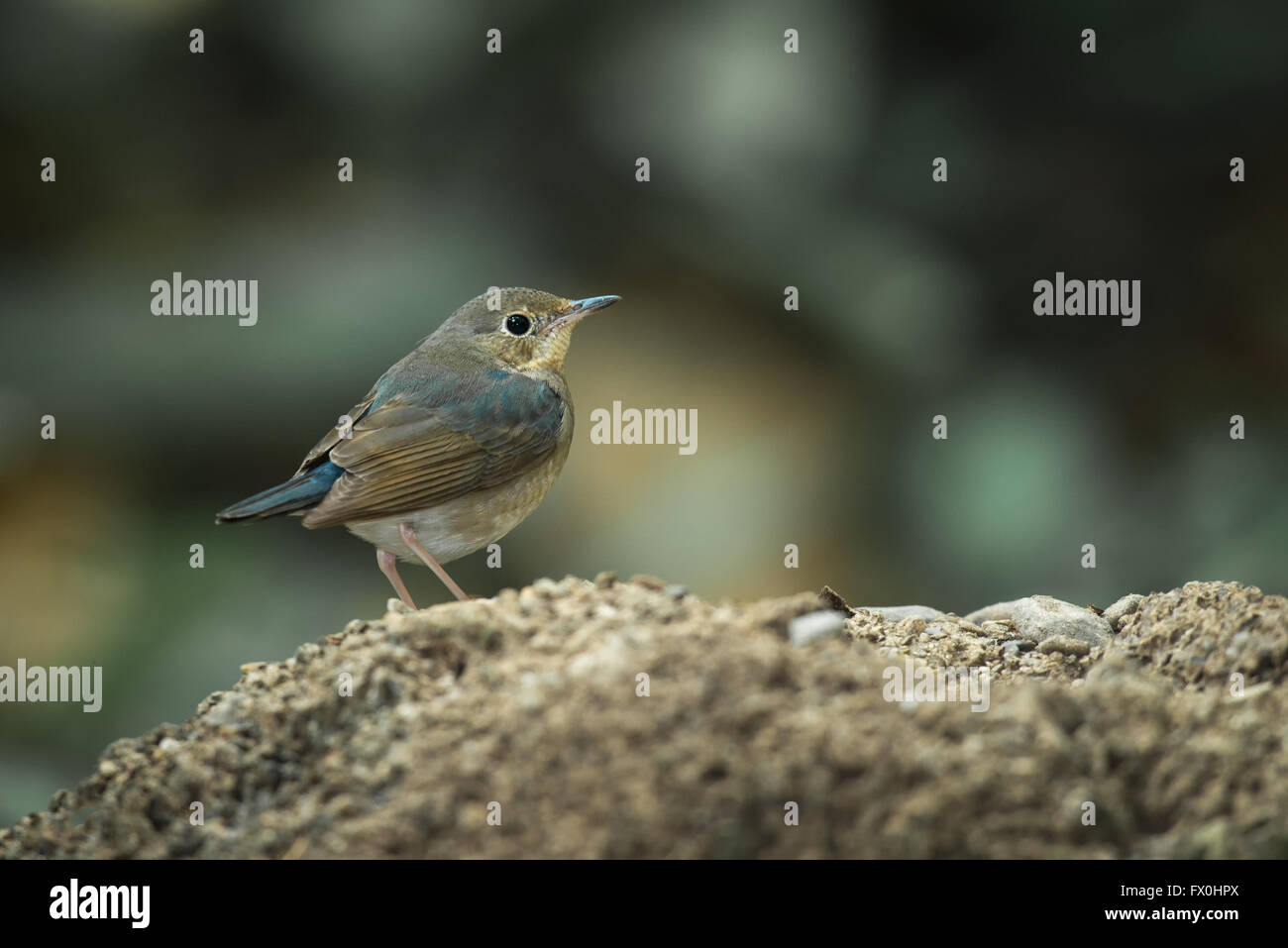 The Siberian blue robin (Luscinia cyane) is a small passerine bird that was formerly classified as a member of the - Stock Image