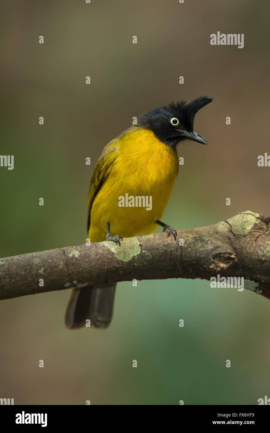 The black-crested bulbul (Pycnonotus flaviventris) is a member of the bulbul family of passerine birds. It is found - Stock Image