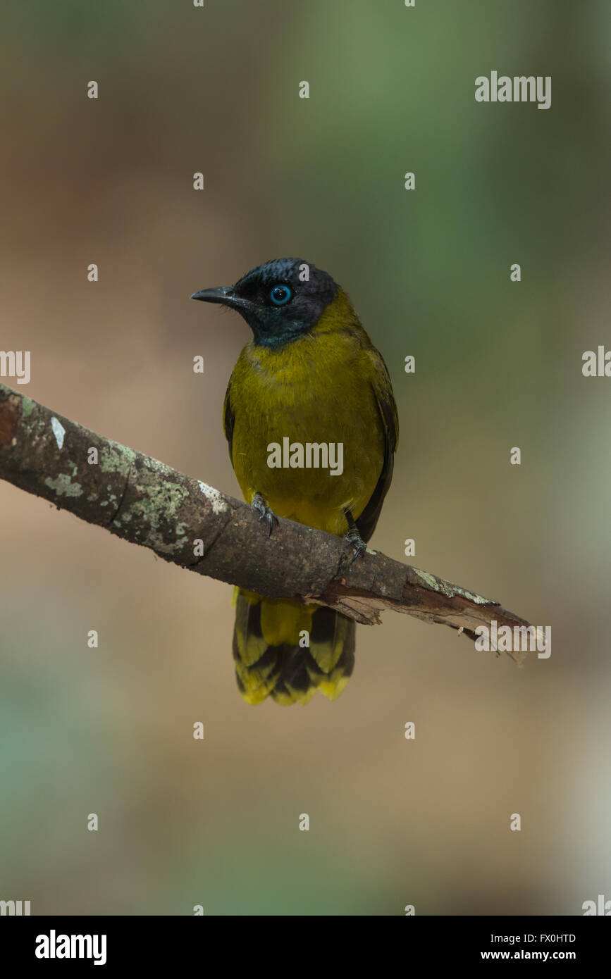 The black-headed bulbul (Pycnonotus atriceps) is a member of the bulbul family of passerine birds. It is found in - Stock Image