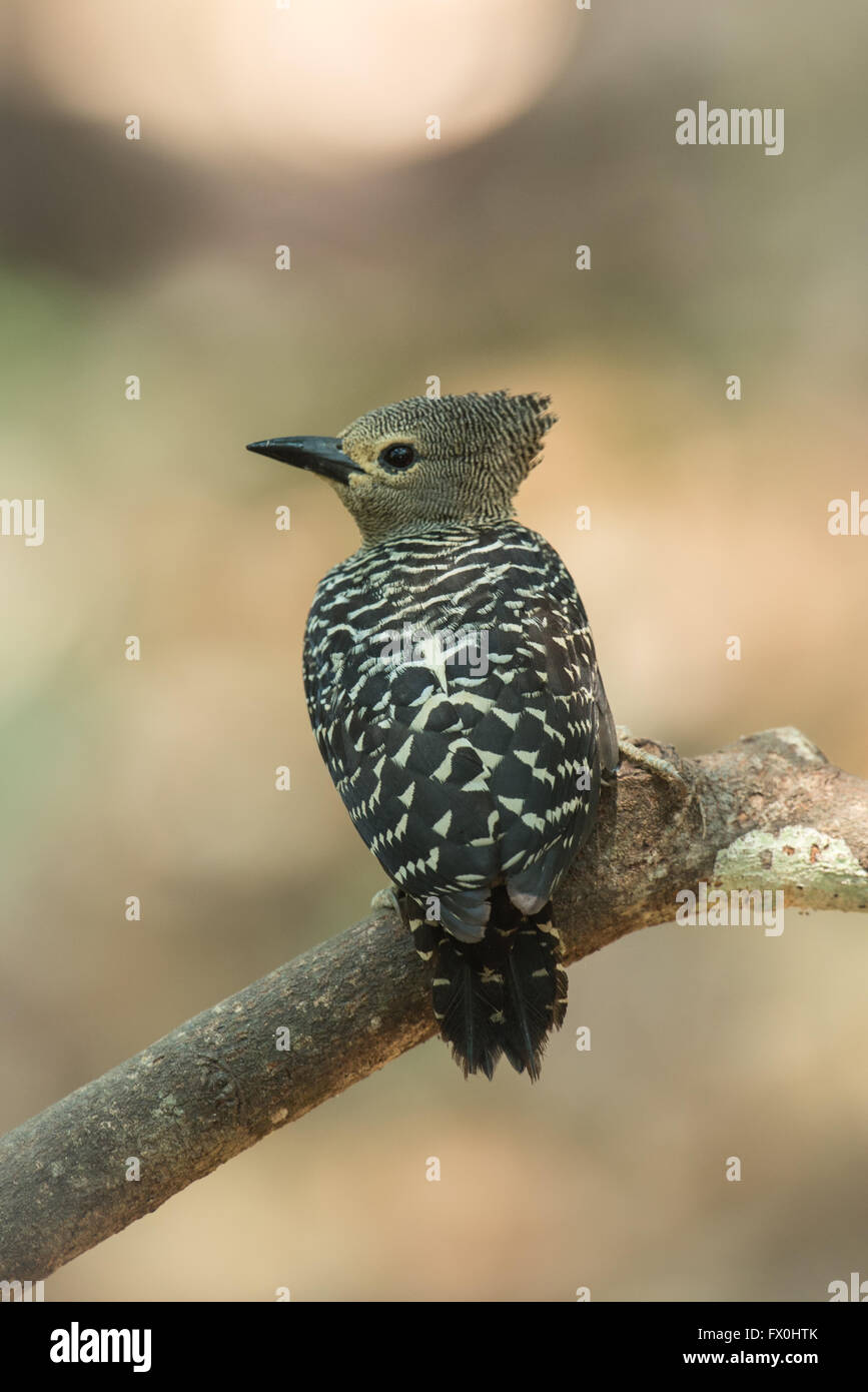 The buff-rumped woodpecker (Meiglyptes grammithorax) is a species of bird in the Picidae family. It is found in - Stock Image