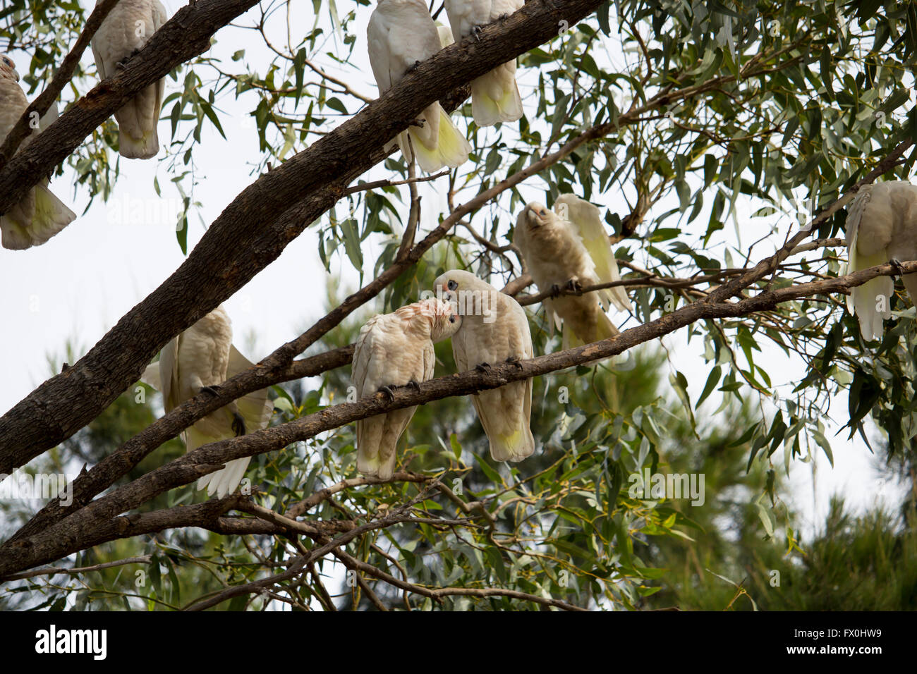 Cheeky comical white Australian corellas Licmetis  a subgenus of the white cockatoos (genus Cacatua) perched  in - Stock Image