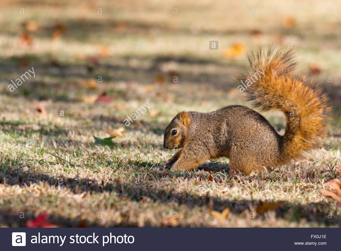 Squirrel burying nuts in fall in preparation for winter - Stock Image
