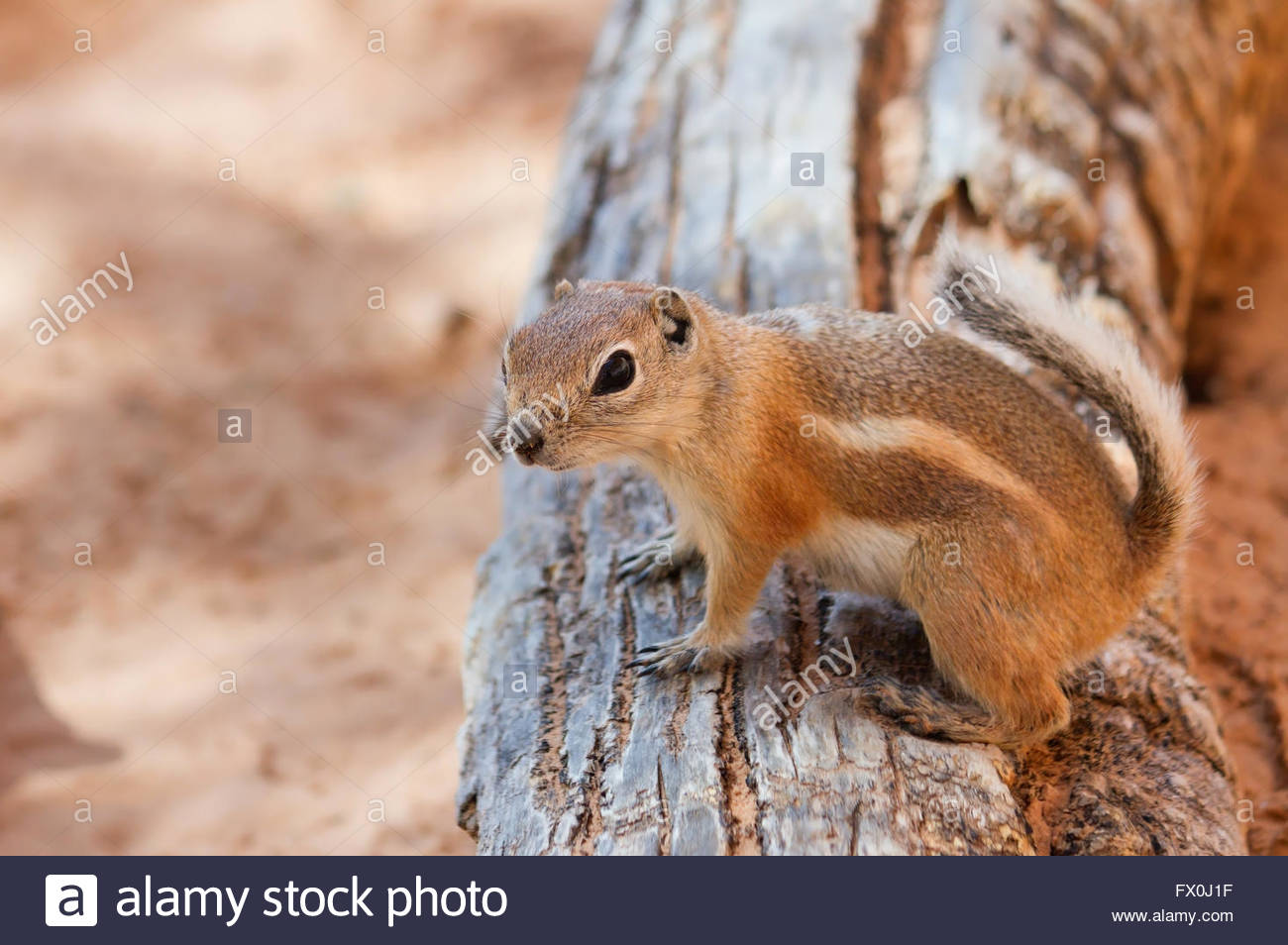 Antelope Squirrel in Canyonlands National Park, UT - Stock Image