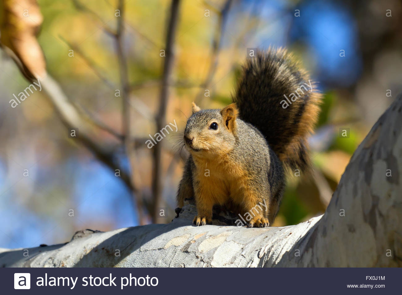 Fox squirrel on branch in fall foliage - Stock Image