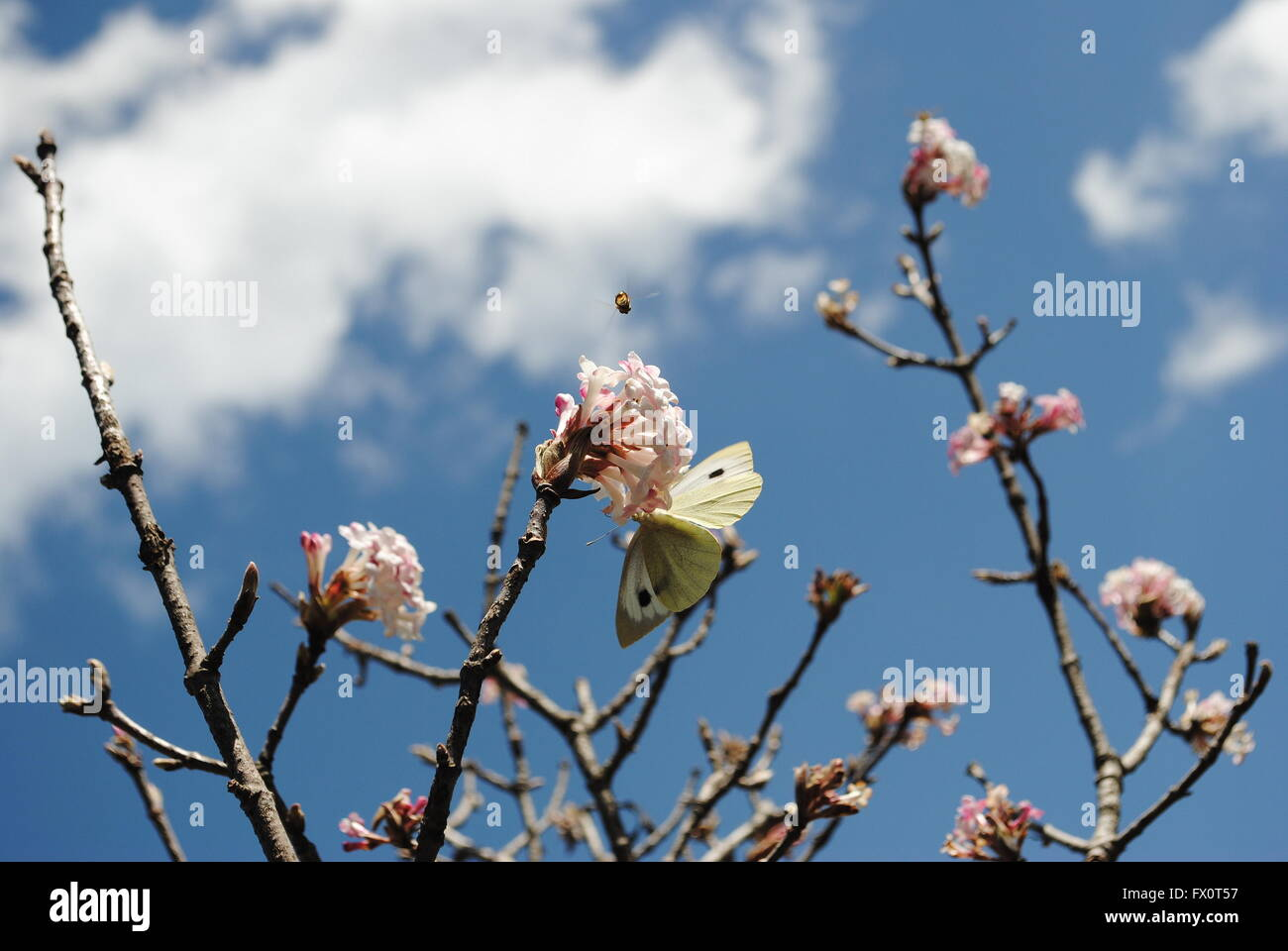 cabbage butterfly sucking nectar from a pile of apple flower. - Stock Image