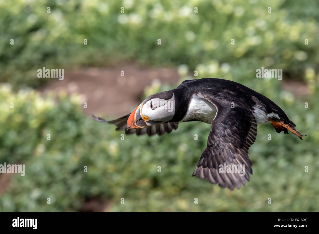 An atlantic puffin flying up from the breeding grounds on the Farne Islands, Great Britain, to catch a meal - Stock Image
