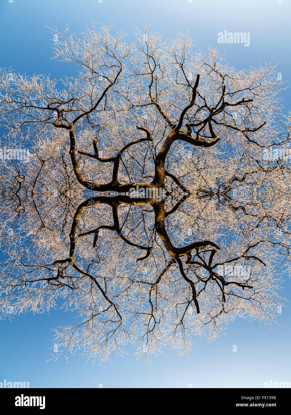 A bare tree covered in frost, reflected in post-production for a surreal effect - Stock Image