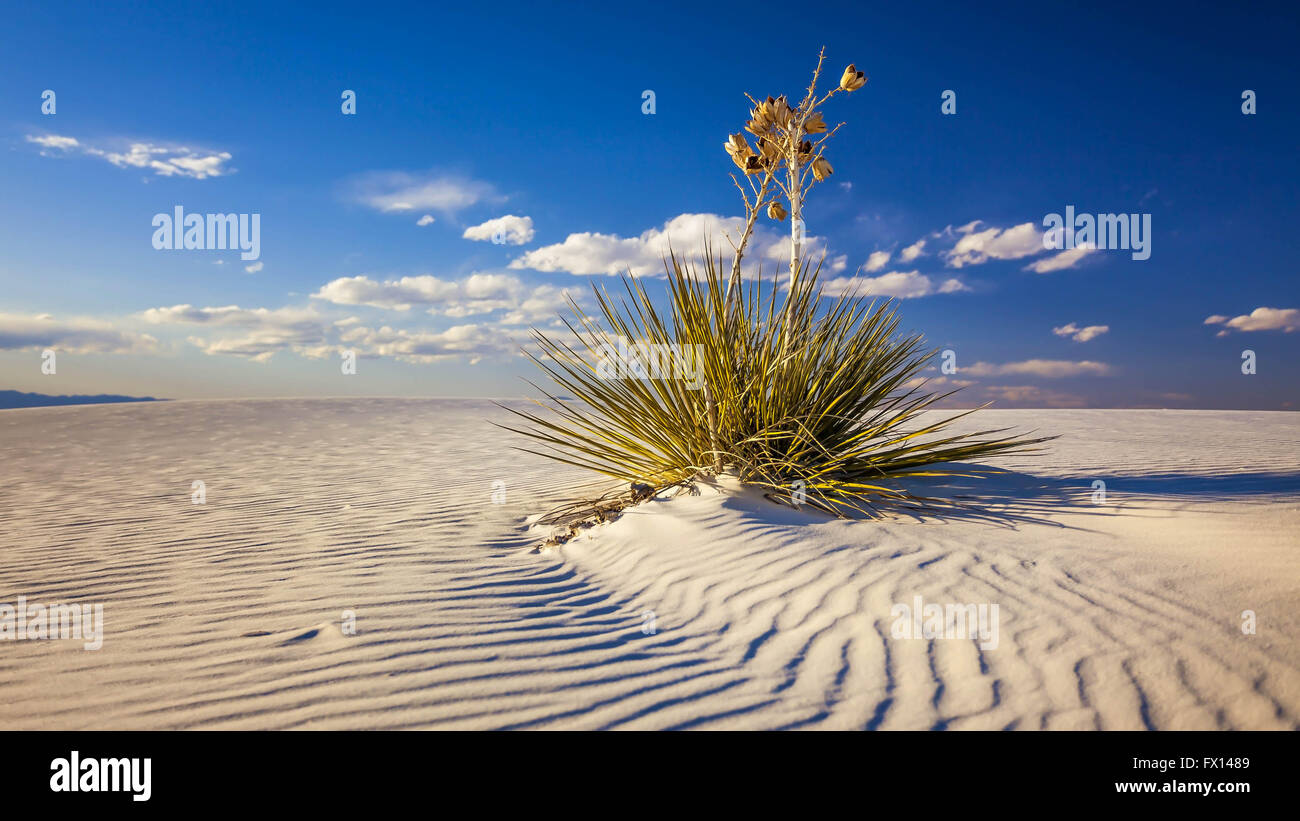 Yucca plant on the sand dunes in White Sands National Monument in New Mexico - Stock Image