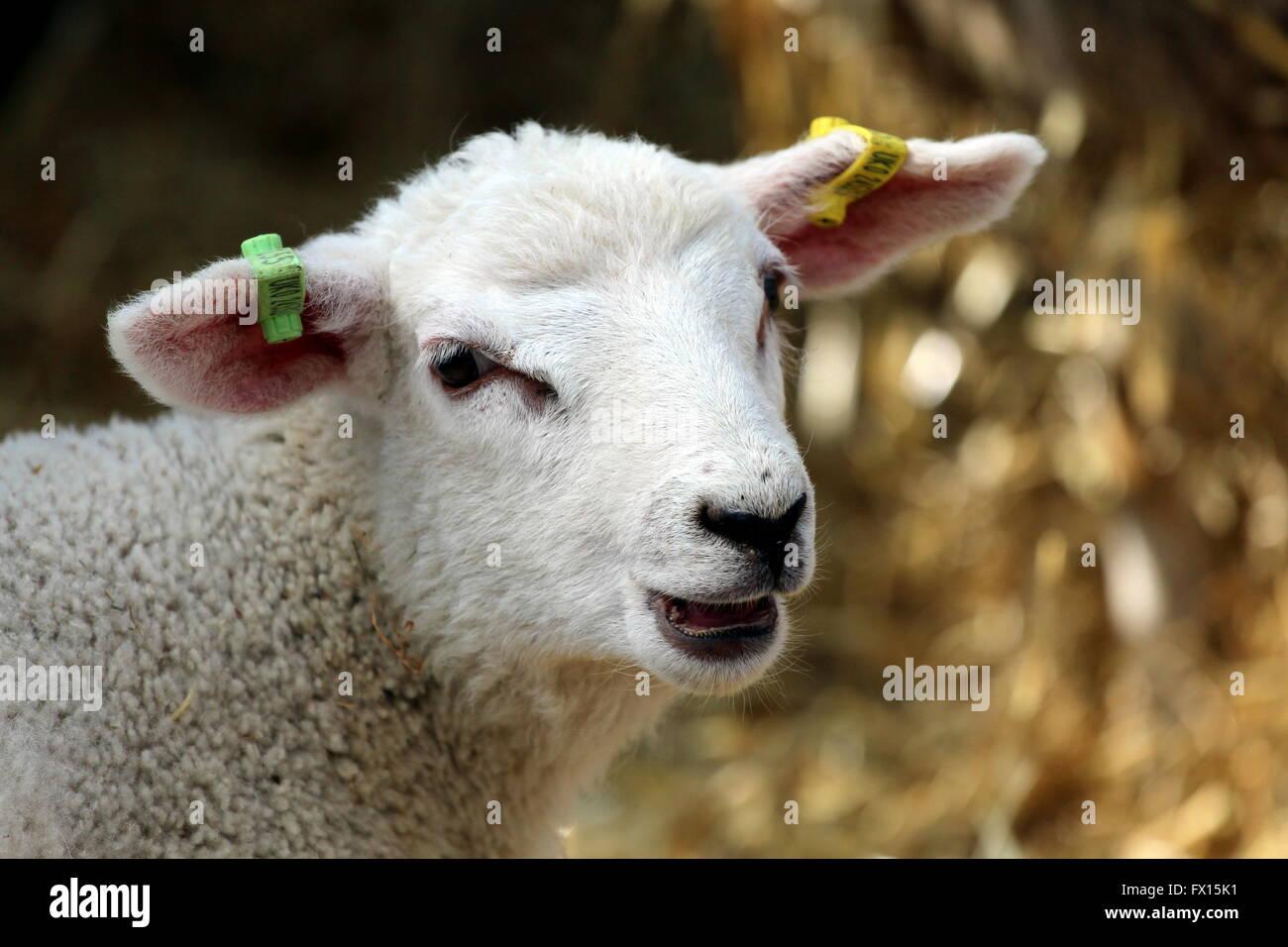 A farm lamb. - Stock Image